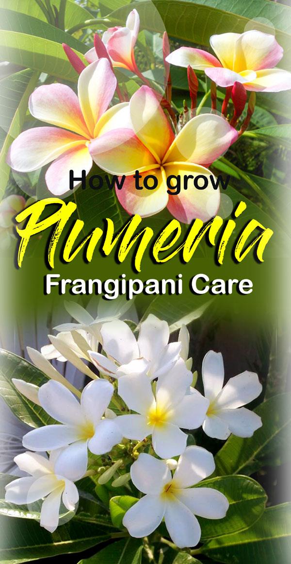 Growing Plumeria | Frangipani | Plumeria plants