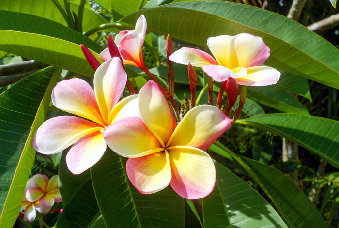 How To Grow Plumeria | Growing Plumeria in containers | Frangipani care
