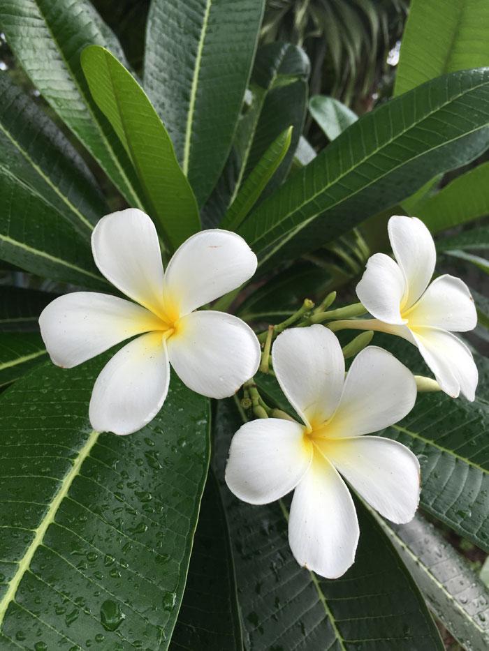 Growing Plumeria | Frangipani