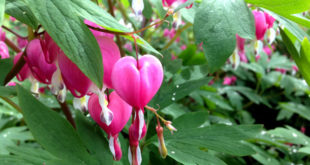 How to Grow and Care Bleeding Hearts plant | Growing Bleeding Heart in pot