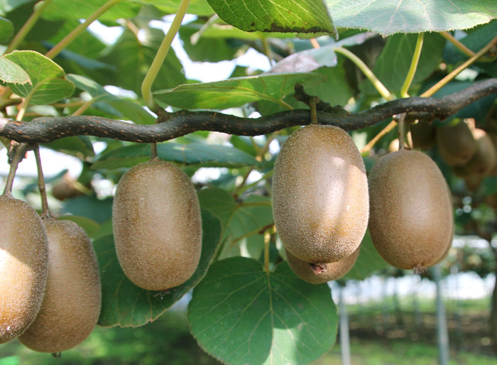 How to Grow Kiwi fruit in your home | Growing Kiwi plants | Kiwi fruit care