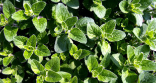 How to grow Oregano | Growing Oregano | Care and Harvest