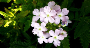 How to grow Verbena | Growing Verbena flowers in pot | Verbena care