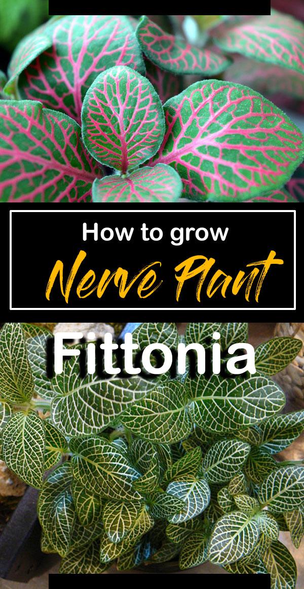 Fittonia | Nerve Plant