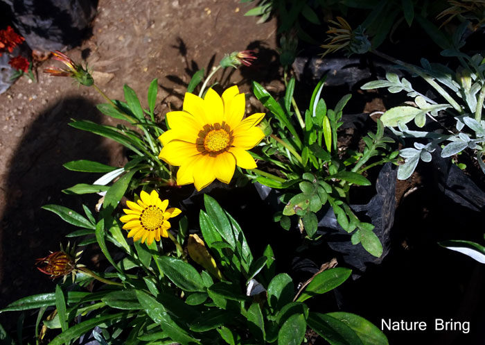 Gazania plant in containers