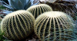 Growing Golden Barrel Cactus | How to grow Golden Barrel Cactus by seeds