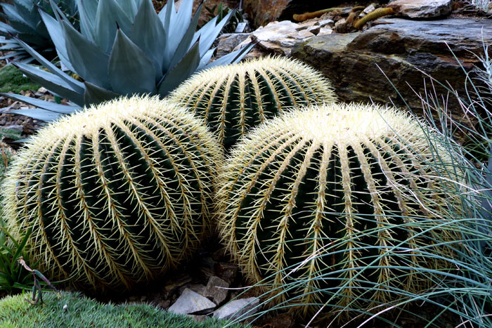 Growing  Golden Barrel Cactus | How to grow Golden Barrel Cactus by seeds