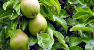 How to grow Pear trees | Growing Pears in pots | Pears care