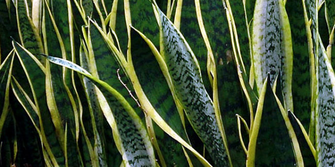How To Grow Snake Plant Mother In Law S Tongue Growing Snake