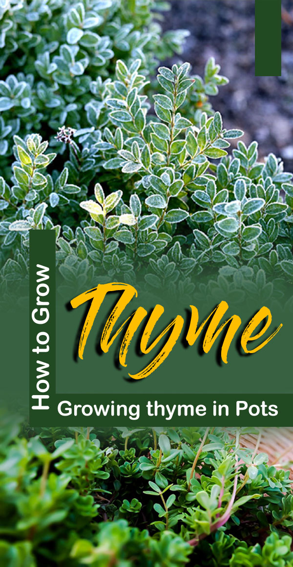 Thyme herb | thyme plant | Growing thyme