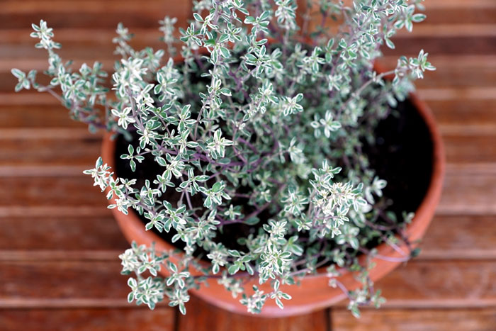 how to grow thyme in pots