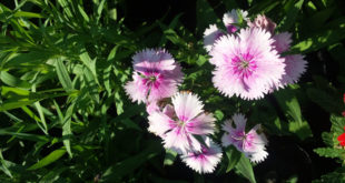 How to grow Carnation flower | Growing Dianthus Flower in pots | Carnation flower