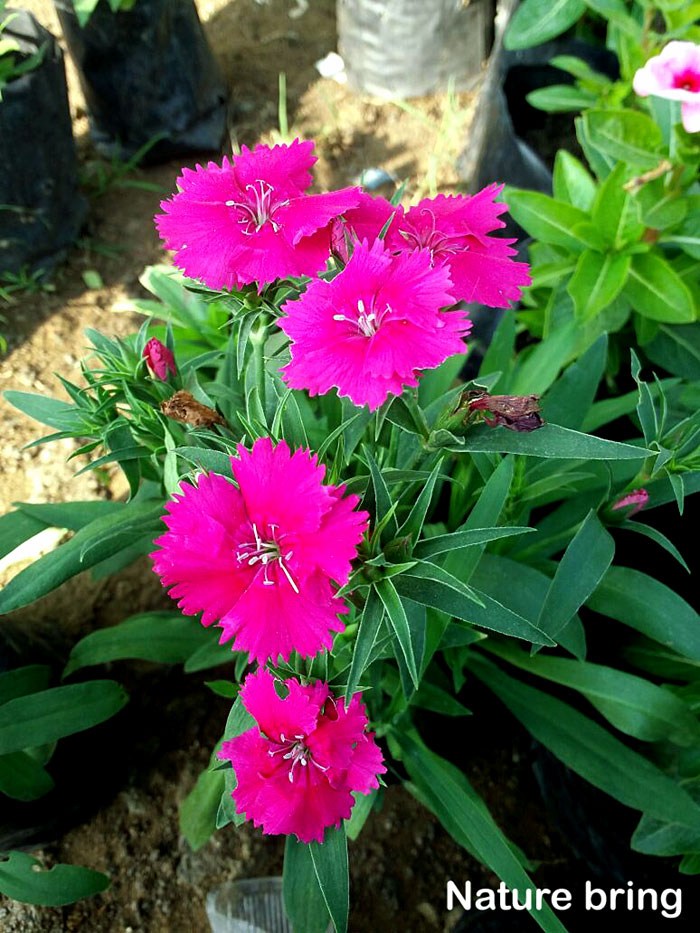 Carnation | Growing Dianthus Flower