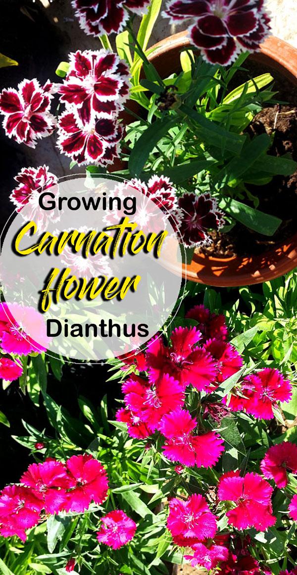 Carnation flower | Dianthus flower