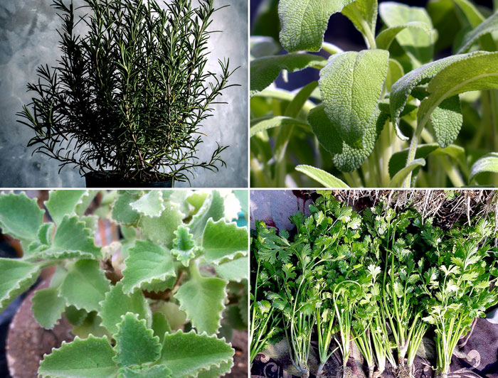 9 Easy growing Herbs for your beginners Herb garden | Easy Growing Herbs