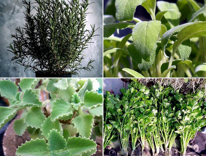 9 Easy growing Herbs for your beginners Herb garden | Easy Growing Herbs