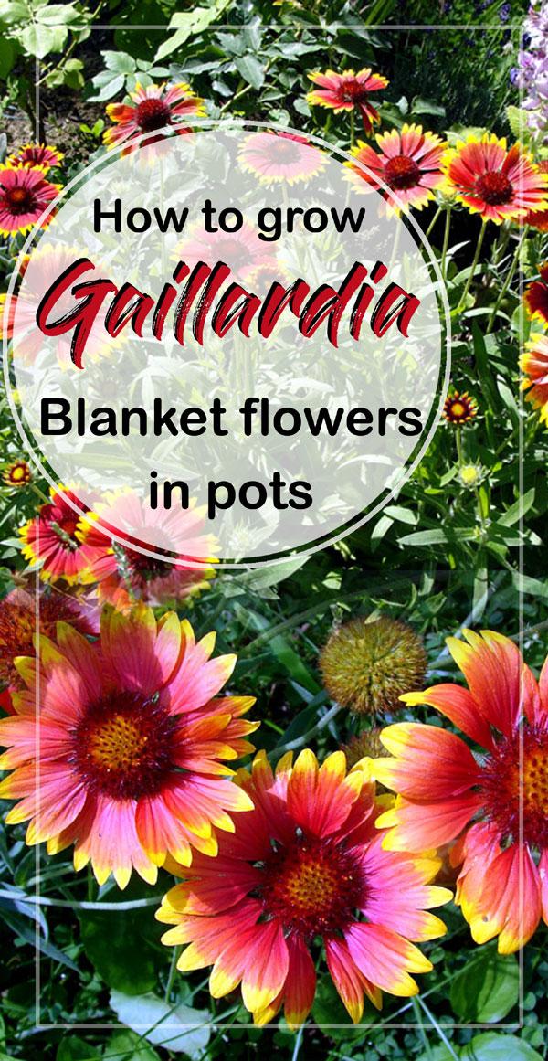 Gaillardia Flowers | gaillardia grandiflora