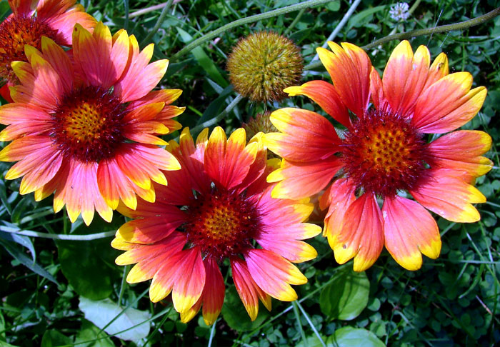 How to Grow Gaillardia Flowers | Growing Gaillardia From a Seed | Blanket Flowers