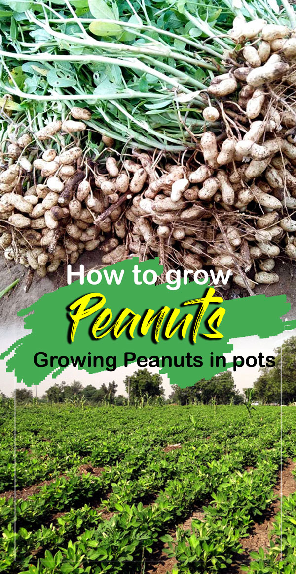 Peanuts | how to grow peanuts | groundnut | monkey nut
