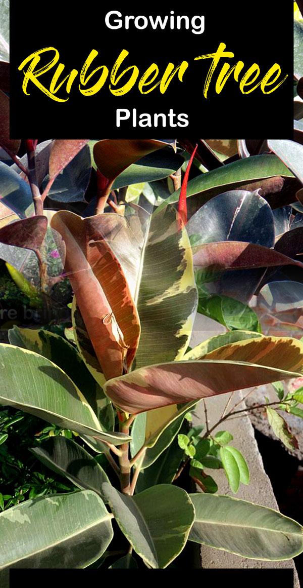 Rubber plant | rubber tree