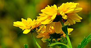 Coreopsis Plant : How to grow and care Coreopsis | Growing Tickseed