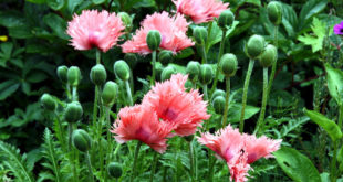 How to Grow Poppies | Growing Poppies in pots | Papaver