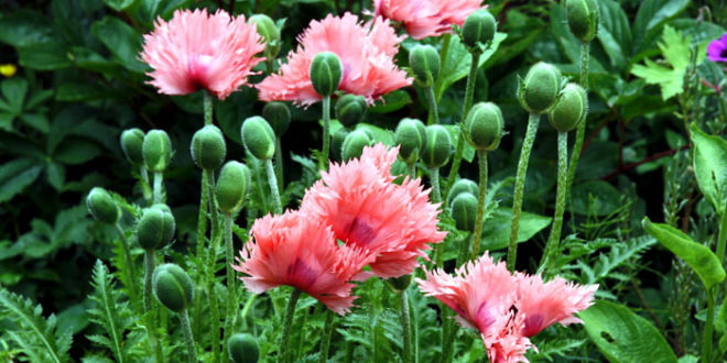 Poppies | Poppies flower