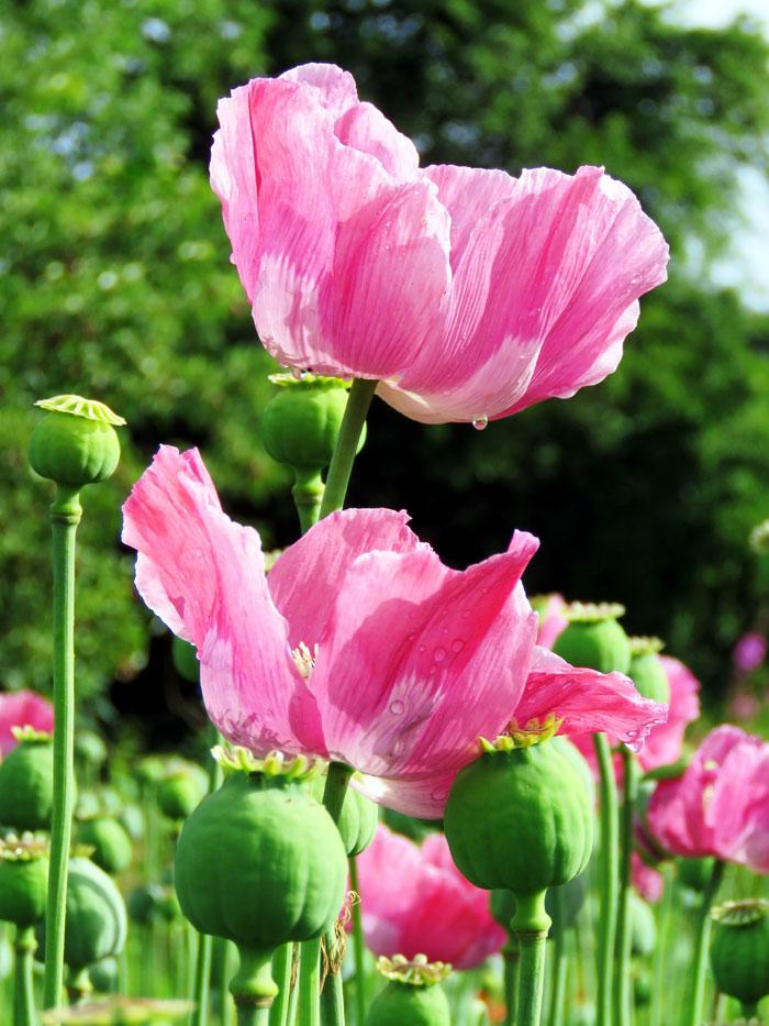 Poppies | Poppies flower | poppy plant