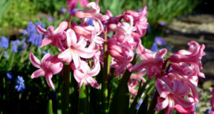 Planting  Hyacinth bulb | How to grow Hyacinth in containers