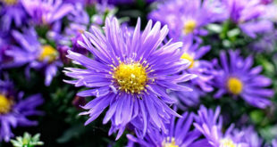 Aster care | Growing Asters | How to grow Aster perennial
