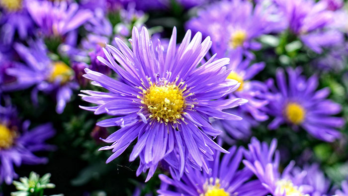 Aster | Growing Asters | How to grow Aster perennial | flowering plant