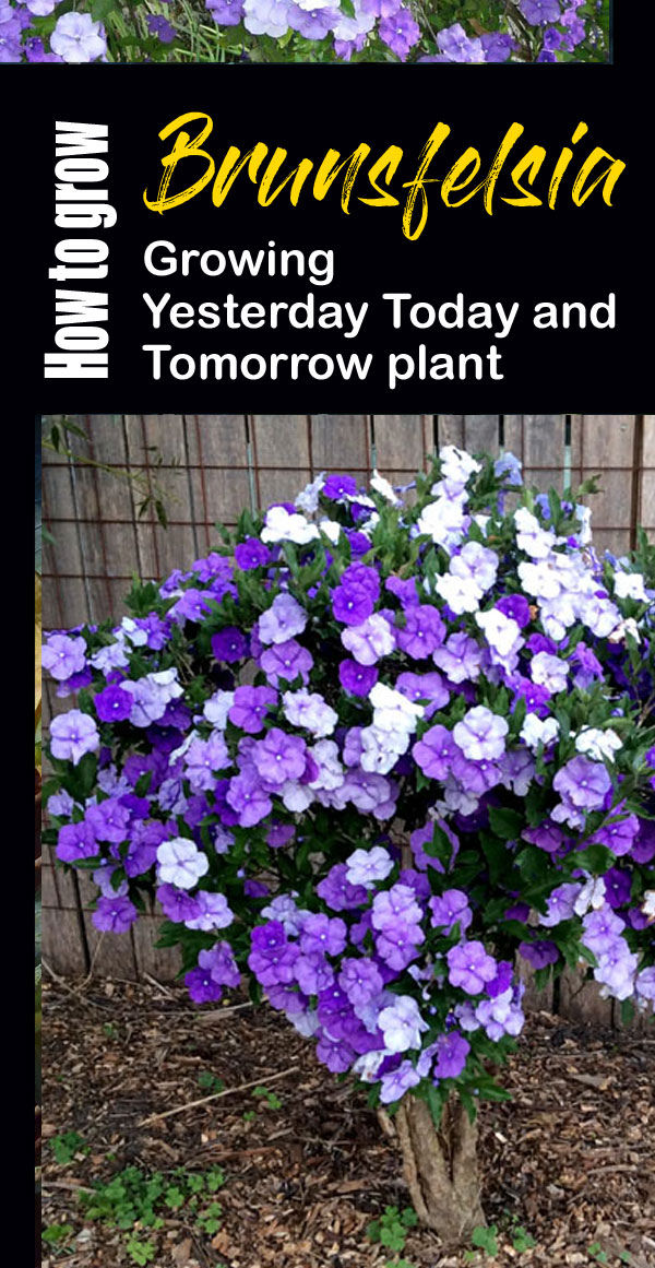 Brunsfelsia | yesterday today and tomorrow flower