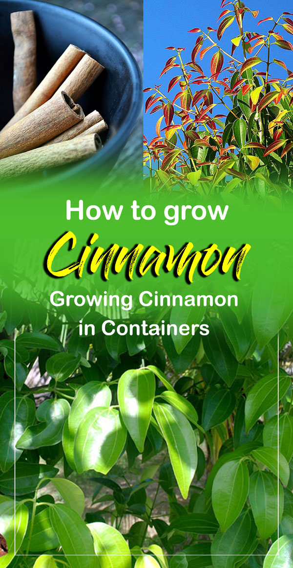 Cinnamon | growing cinnamon plant