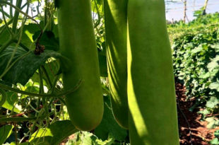 Growing Bottle gourd | Lauki