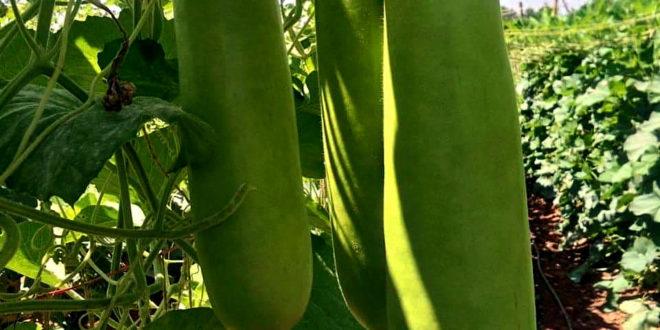 Growing Bottle gourd | Lauki