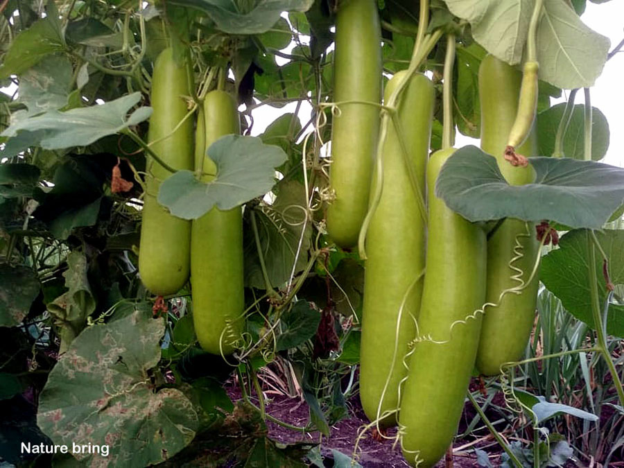 How to grow organic Bottle gourd | Growing Bottle gourd in pots | Lauki