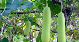 How to grow organic Bottle Gourd | Growing Bottle gourd in pots