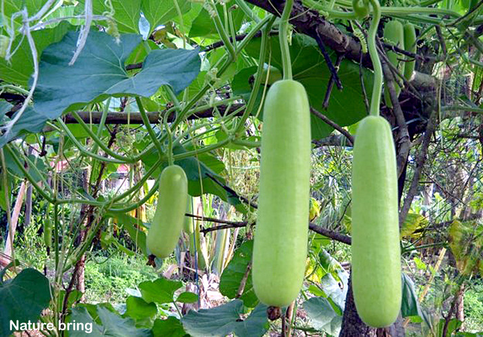How to grow Bottle gourd