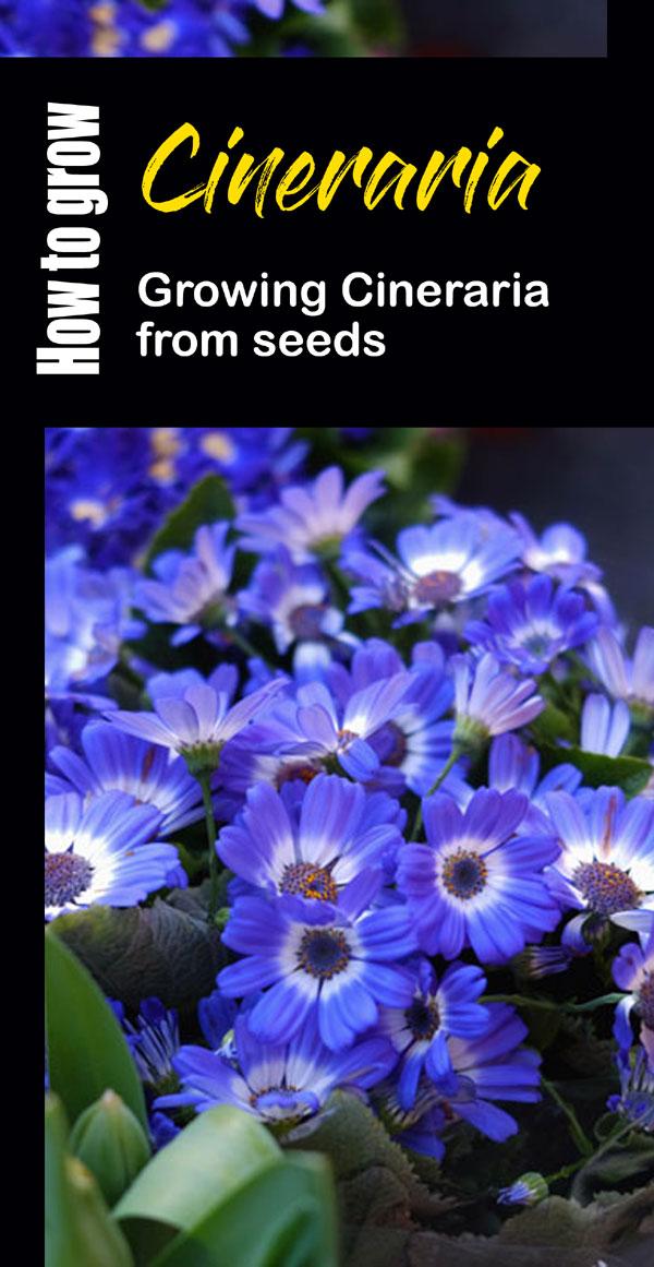 Cineraria plant | Cineraria flower | pericallis hybrida