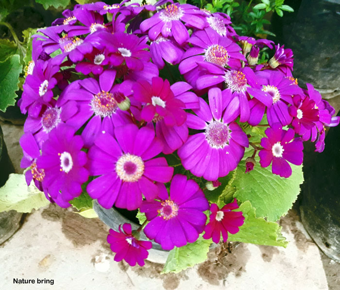 Growing Cineraria | How to grow Cineraria from seeds