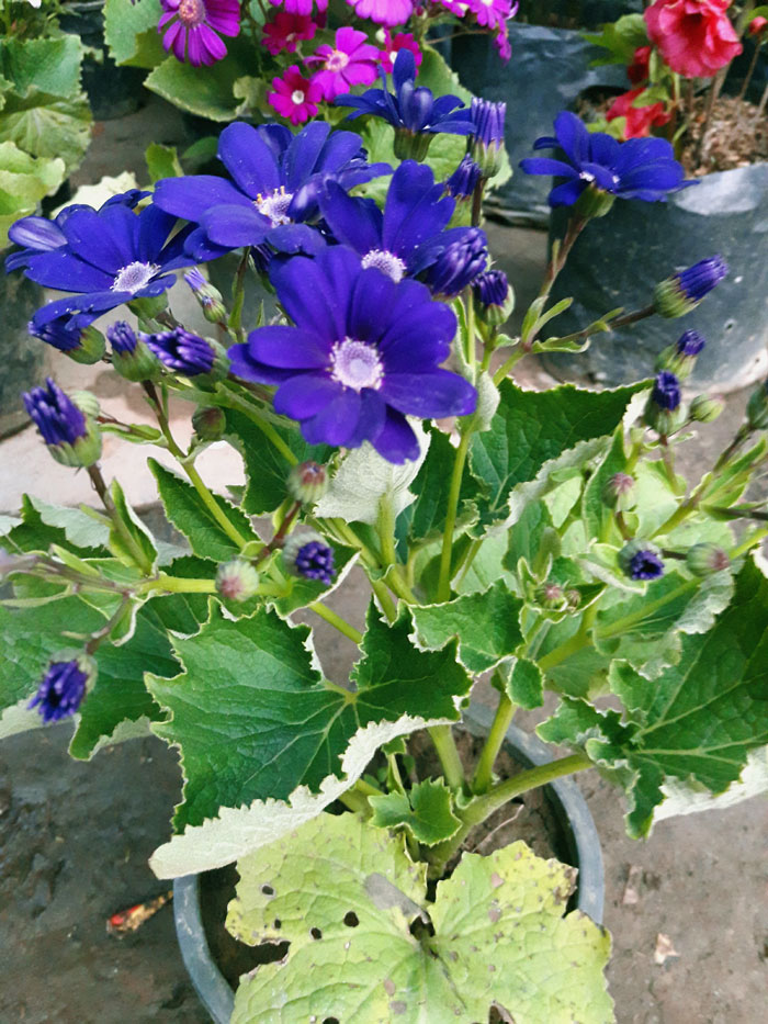 Growing Cineraria in pots