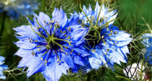 How to Grow Nigella Damascena | Growing Love-in-a-Mist plants