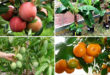Fruits to grow in containers | Top fruit plants | Fruit trees