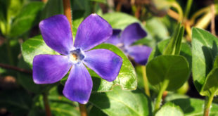 How to Grow Vinca | Growing Periwinkle in pots | Periwinkle