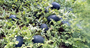 Direct Sow Vegetables in the Garden | sowing seeds directly