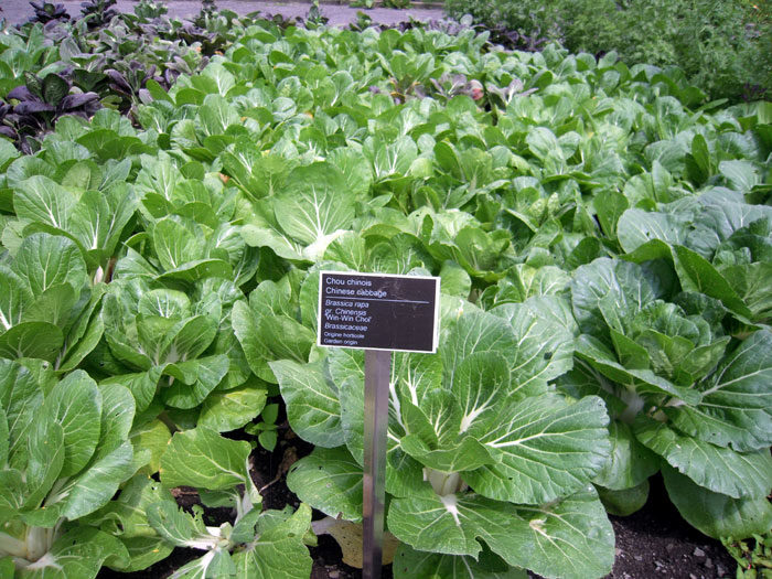 Pak Choi | Growing Chinese cabbage