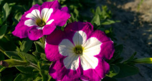Growing Petunias | Petunia plant