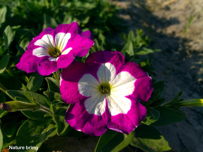 Growing Petunias | How to grow and care of Petunia plant