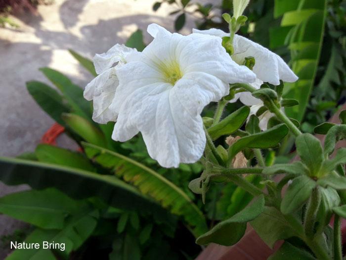 Growing Petunias | Petunia plant
