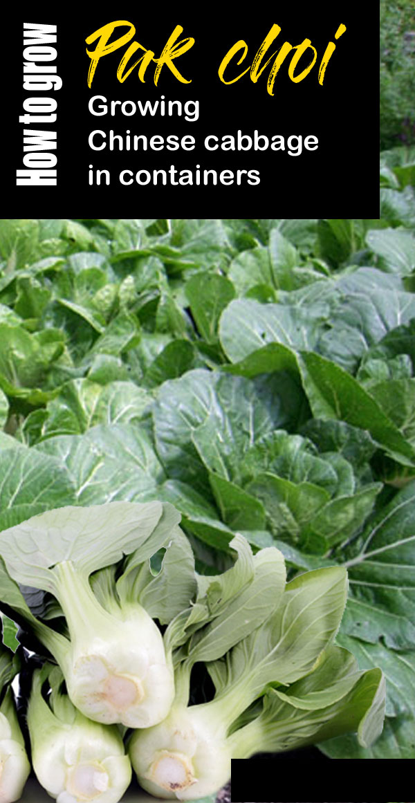 Pak Choi | Growing Chinese cabbage | Bok choy